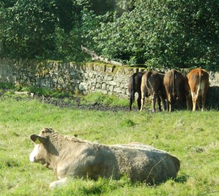Cow-ar**